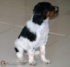 breton-BRYANDeAbelK3-cachorro-tricolor-spanielsbreton