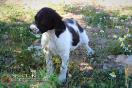 breton-cachorro-blanco y negro-DeAbelK3-spanielsbreton