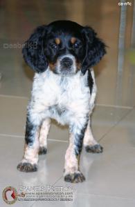 breton-cachorro-hembra-tricolor-DeAbelK3-spanielsbreton.com