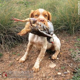 breton-cachorro-UNADeAbelK-3-spanielsbreton.com