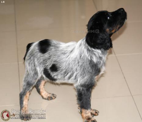 bretona-cachorra-tricolor-DeAbelK3-M-B-spanielsbreton.com