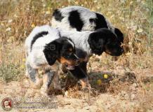 bretones-cachorros-tricolor-DeAbelK3-spanielsbreton