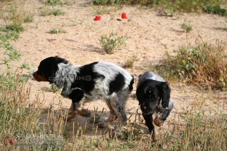 bretones-tricolor-cachorros-DeAbelK3-spanielsbreton.com