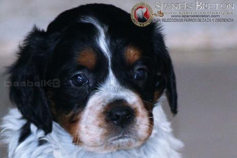 cachorra-tricolor-leti DeAbelK3-breton-spanielsbreton
