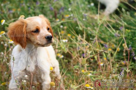 cachorro-breton-DeAbelK3-spanielsbreton.com