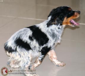 cachorro-breton-epagneul-DeAbelK3-L-B-spanielsbreton.com
