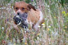 cachorro-breton-espaniel-DeAbelK3-spanielsbreton