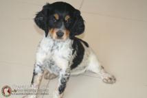 cachorro-hembra-breton-DeAbelK3-tricolor-spanielsbreton.com