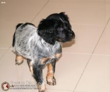 cachorro-hembra-breton-hembra-DeAbelK3-M-B-spanielsbreton.com