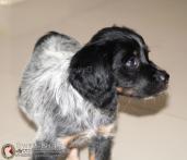 cachorro-tricolor-breton-DeAbelK3-L-A-spanielsbretom.com