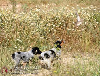 cachorros-bretones-tricolor-DeAbelK3-spanielsbreton