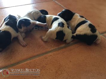 cachorros-bretones-un dia de vida-DeAbelK3-spanielsbreton