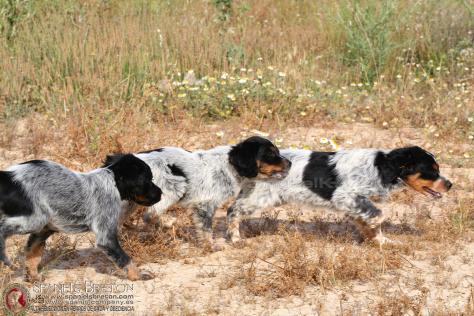 DeAbelK3-Cachorros-breton-tricolor-spanielsbreton