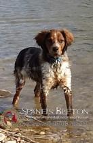 DUCKDeAbelK3-Breton-tricolor-marron-spanielsbreton