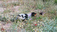 epagneul-breton-tricolor-cachorro-empezando-DeAbelK3-spanielsbreton.com