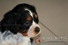 leti DeAbelK-3-epagneul-breton-cachorro-spanielsbreton