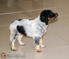 TORETODeAbelK3-macho-breton-cachorro-spanielsbreton.com